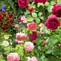 английске розы в июле