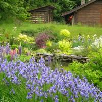 Siberian irises, late May 2015
